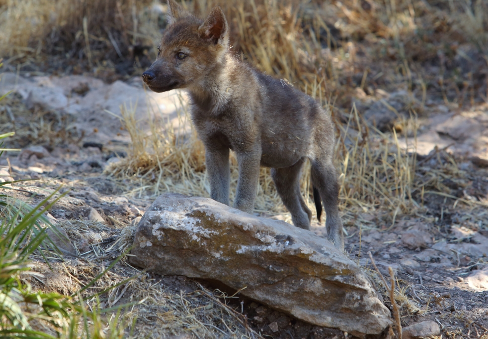 lves in antequera spain wolf cubs